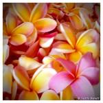 Plumeria_blossoms