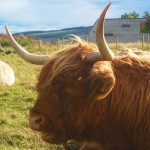 Scotland Highland cow