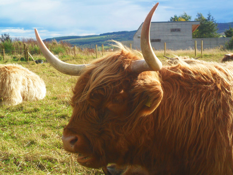 Scotland_Highland_cow
