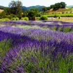 Lavender Fields at the Robert Sinskey Winery on the Silverado Trail in Napa, California.