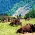 Oregon_Winston_Wildlife Safari_Buffalo