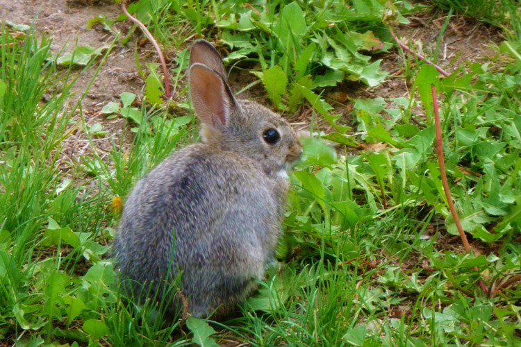 Oregon_wild bunny