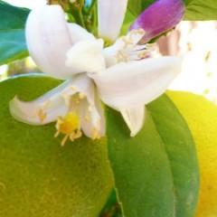 lemon_tree_blossom