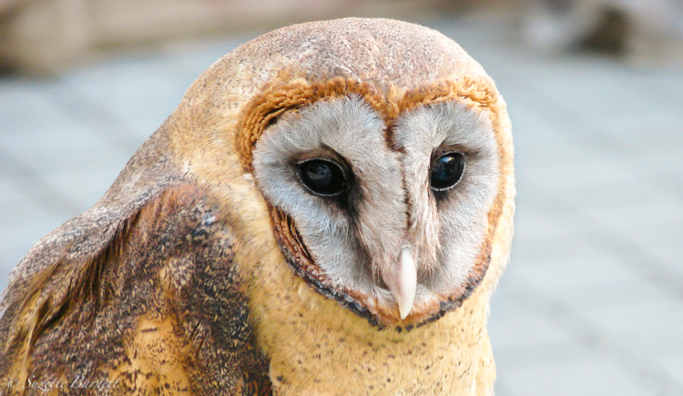 owl_closeup_in_japan