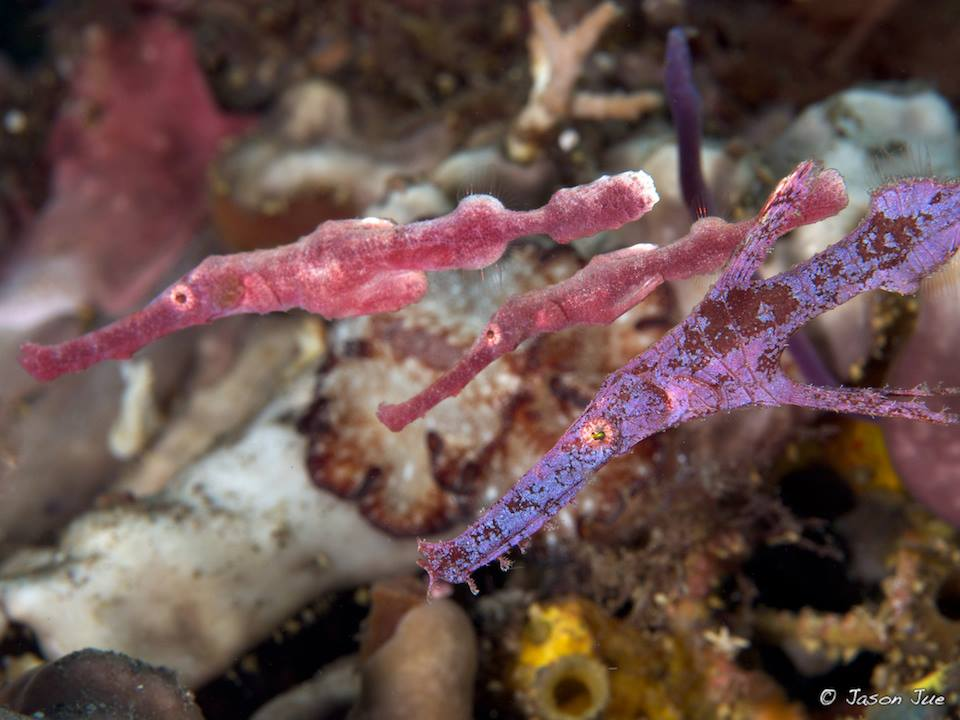 pink and purple ghost pipefish in Bali