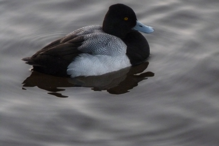 Spring Duck Lost Lagoon Stanley Park Vancouver Canada