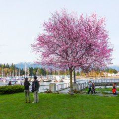 vancouver cherry blossom_sq