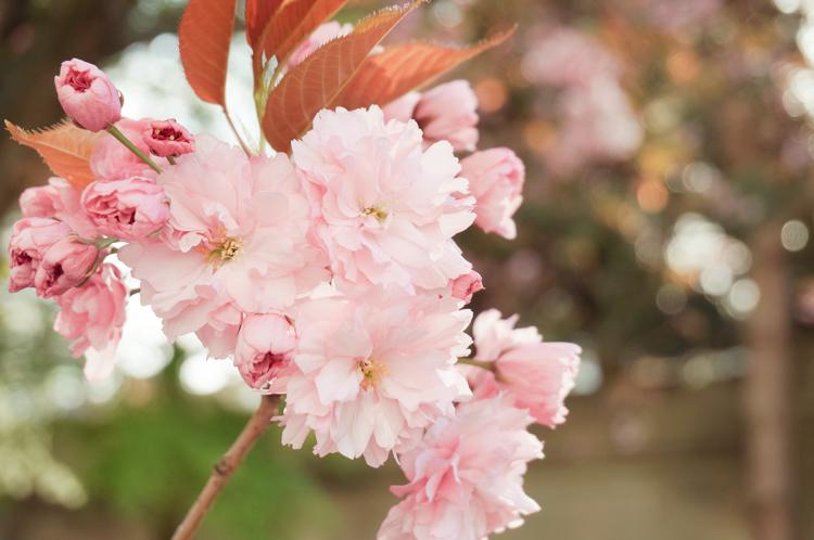 cherry_blossom_festival-00683-2