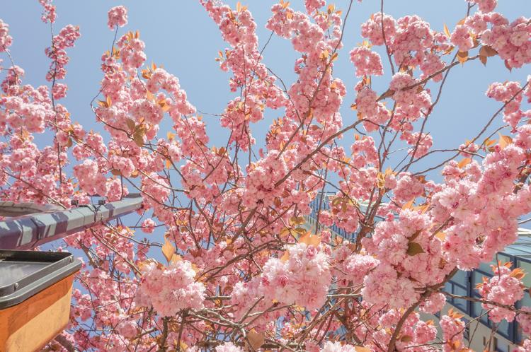 cherry_blossom_festival-00834