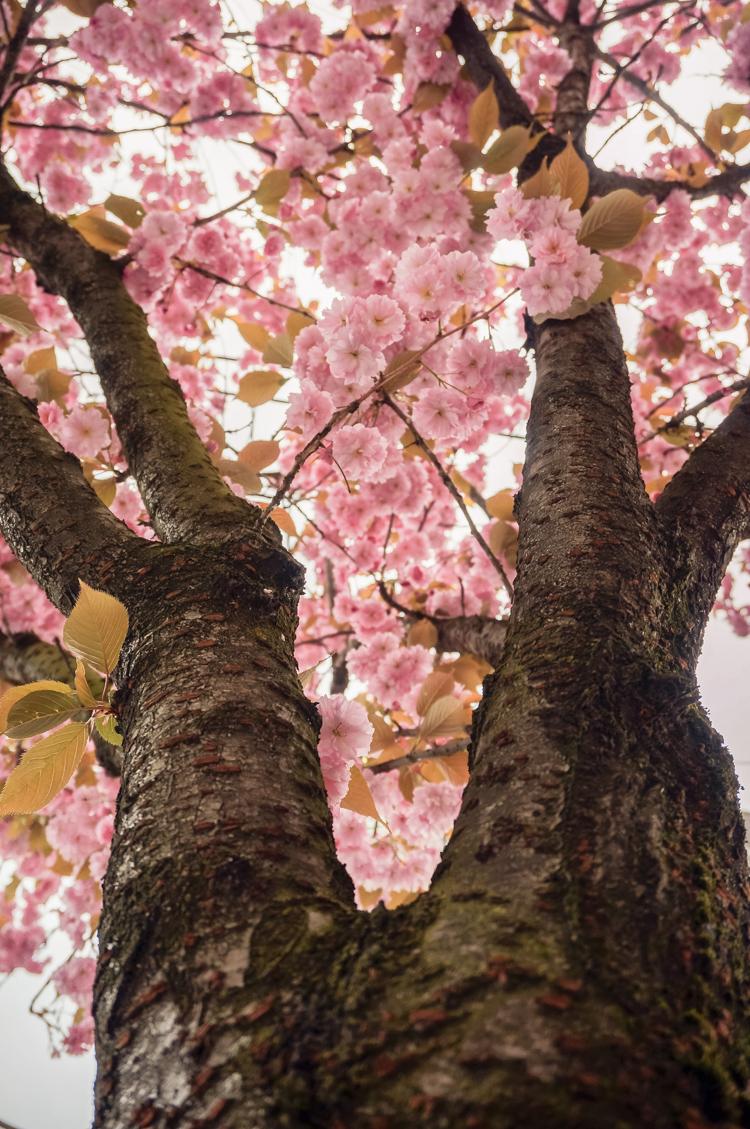 cherry_blossom_festival-00853-2