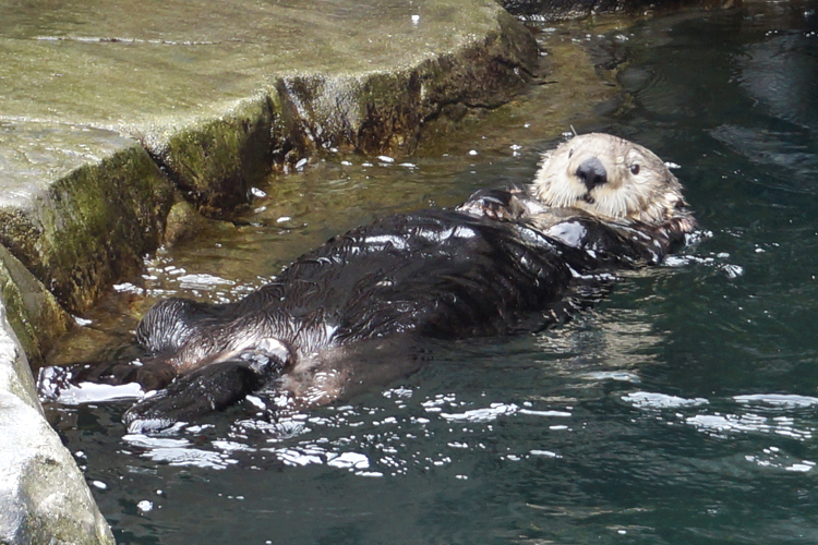 Vancouver Aquarium Cute Sea Otters