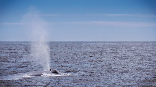 best_whale_watching_california_blue_whale_spouting