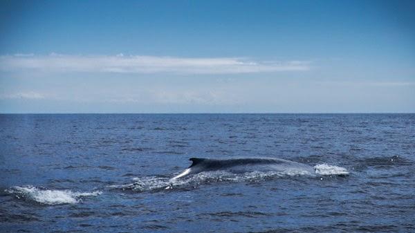 blue_whale_dorsel_fin