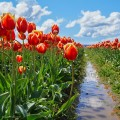 Skagit-best-tulip-festival-red-yellow-residence-tulip-fields