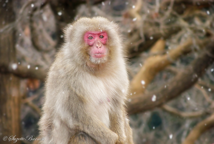 Japanese monkey in snowfall