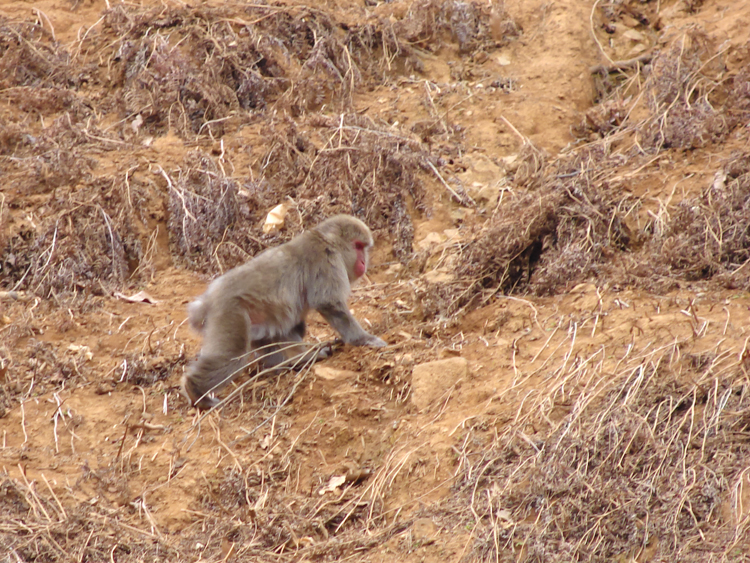 monkey camouflaged with the hillside