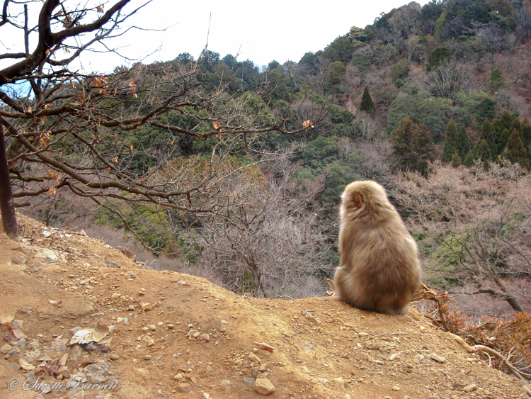monkey keeps lookout in arashiyama