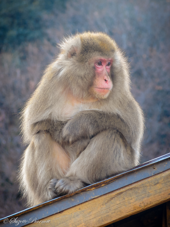 rooftop monkey watching over arashiyama