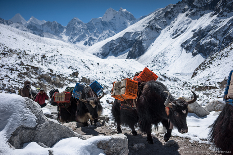 yak delivery train Nepal