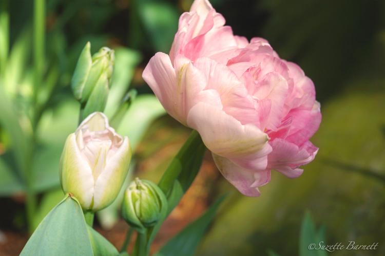 Skagit-best-tulip-festival-angelique