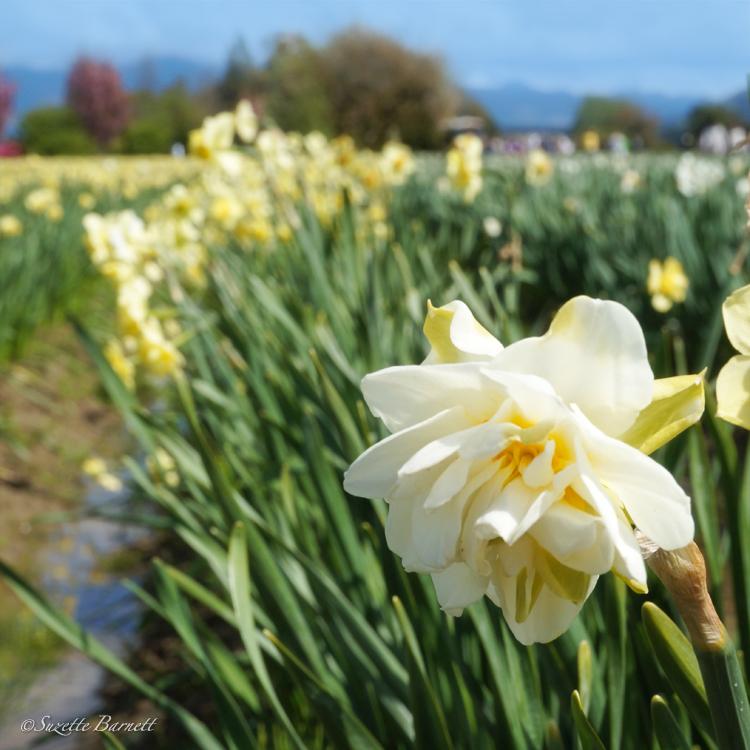 Skagit-best-tulip-festival-daffodil-fields-square
