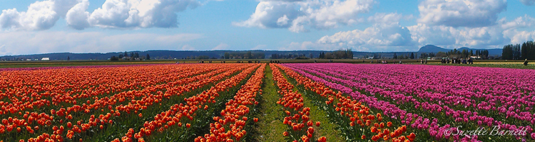 Skagit-best-tulip-festival-tulip-fields-pano