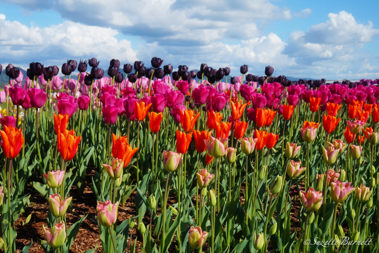 Skagit-best-tulip-festival-tulip-fields