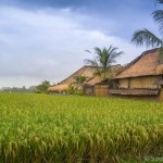 Rice fields in Ubud Bali