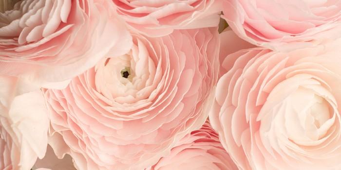 pink ranunculus in paris