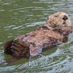 California sea otter moss landing glimpse
