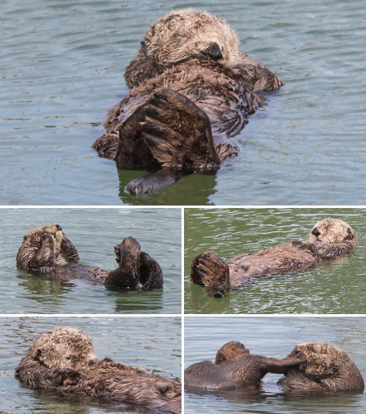 California sea otters grooming and sleeping