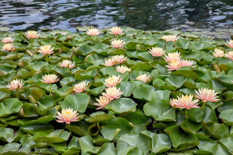 Sea of sacred lotus flowers in los angeles try something fun echo park lake bed of lotus flowers mightylinksfo