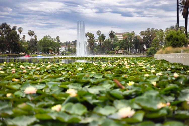 Sea Of Sacred Lotus Flowers In Los Angeles Try Something Fun