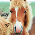 Fluffy Icelandic horse