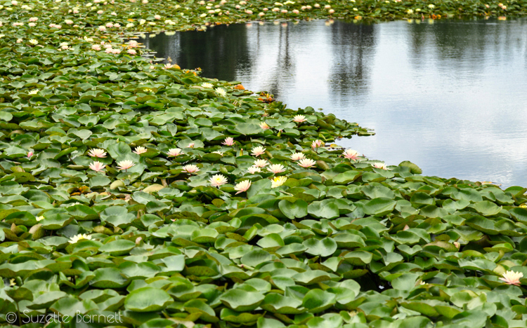 sea of lotus flowers Echo Park Lake