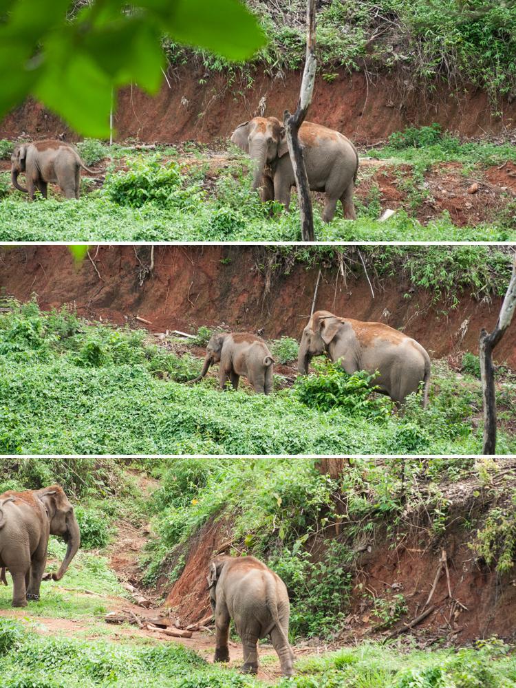 wild elephants_chiang mai thailand