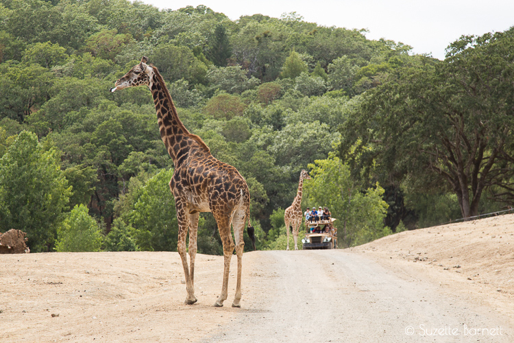 Giraffes on safari