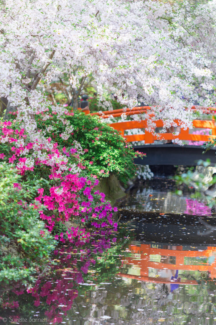 arched bridge at the japanese garden - Japanese Garden Cherry Blossom Bridge