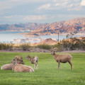 Bighorn Sheep by Lake Mead