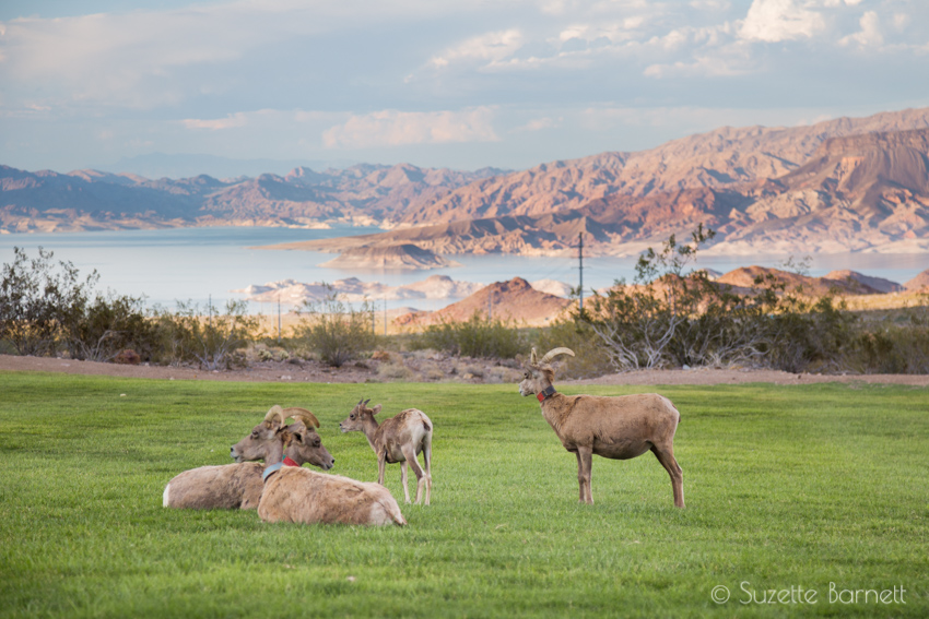 Big Horn Sheep by Lake Mead
