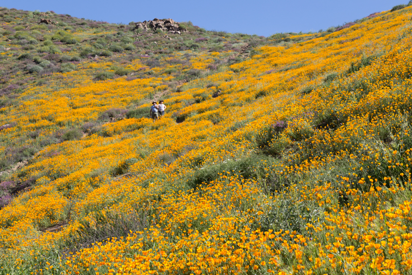 California_Poppy_Super_Bloom-108