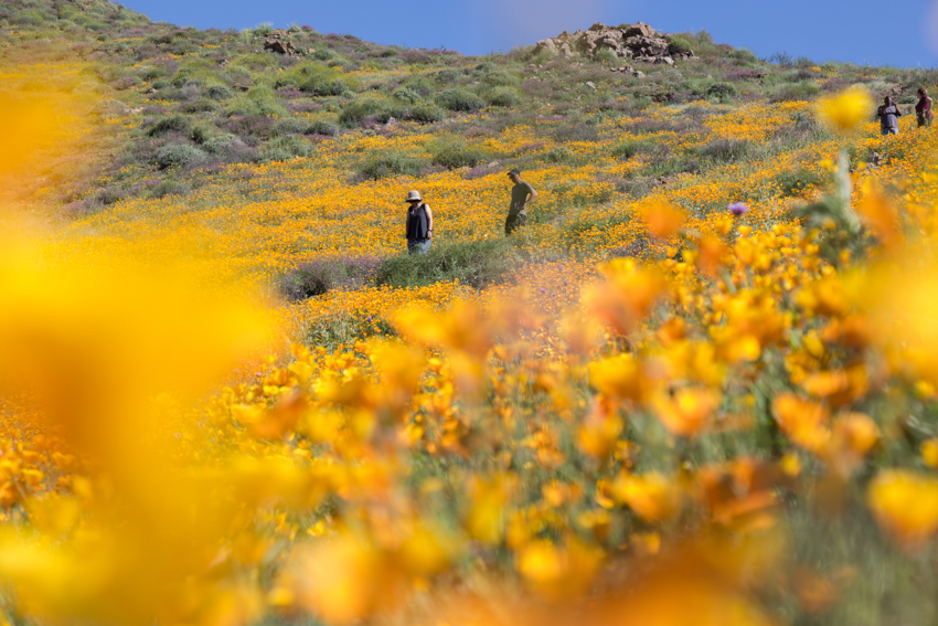 California_Poppy_Super_Bloom-127