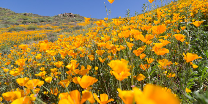 Hillside of Poppy Flowers in Bloom