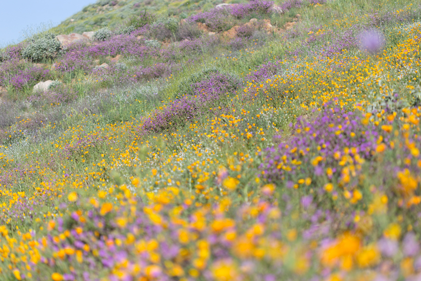 Poppies and purple wildflowers cover a hillside