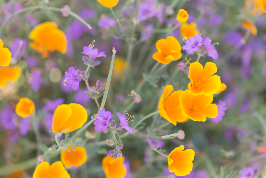 Close up California poppies among purple wildflowers