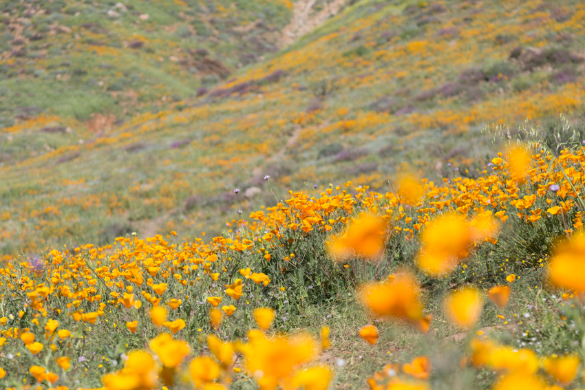 Hillside of Poppy Flower in Bloom