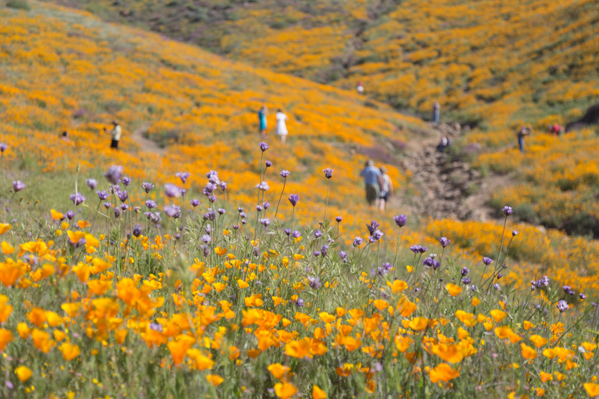 Hillside of wild California Poppies in bloom at Walker Canyon