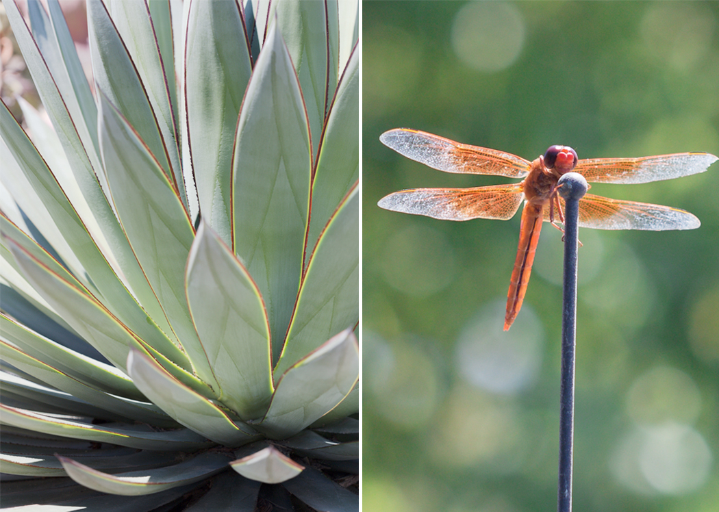 agave plant_dragonfly
