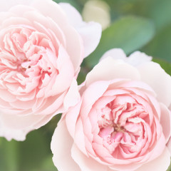 The Rose Garden includes a large collection of beautiful David Austin English Roses like these. Aren't they stunning?