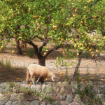 Grazing sheep at Mallorca citrus grove